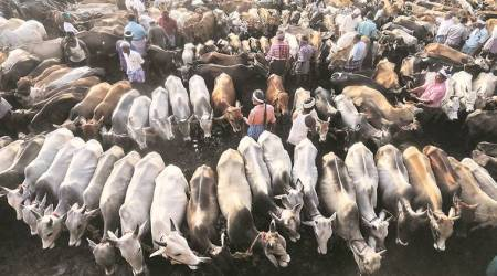 New rules on cattle trade: Muslim-Dalit group demands withdrawal of Centre's notification
