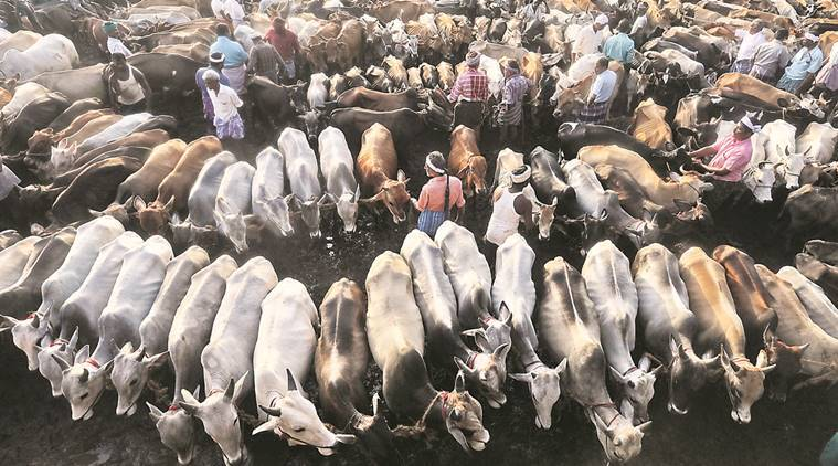 cattle slaughter news, bull slaughter news, india news, indian express news