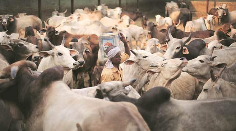 gaushala, cow shelter, over crowded gaushala, gau rakshak, cattle slaughter, cow news