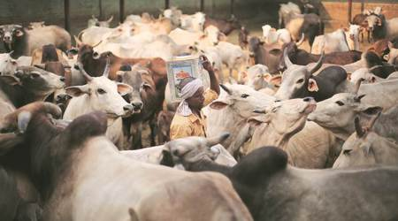 Running out of space, government gaushalas turn awaycattle