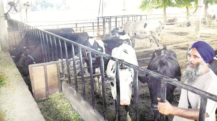 cow slaughter, cow, cattle sale, Punjab dairy, Punjab cow slaugter, Punjab cattle trade, farmers, punjab farmers,