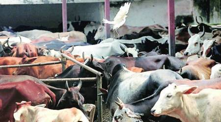 cow slaughter, ransacking shops over cow slaughter, Hindu groups, shimla news, men booked for ransacking shops, indian express