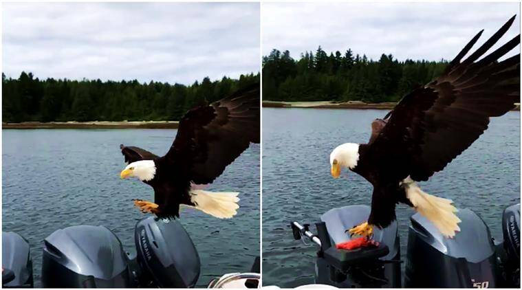 fish, eagle, boat, eagle steals fish, eagle steals fish video, eagle viral video, viral videos, indian express, indian express news