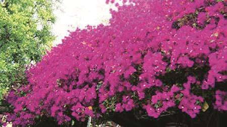 Pune scientists extract carbon from wild flowers