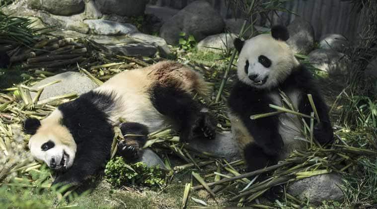 girl baby panda, baby panda, baby panda in japan, ueno zoo tokyo, tokyo zoos, Indian express, Indian express news