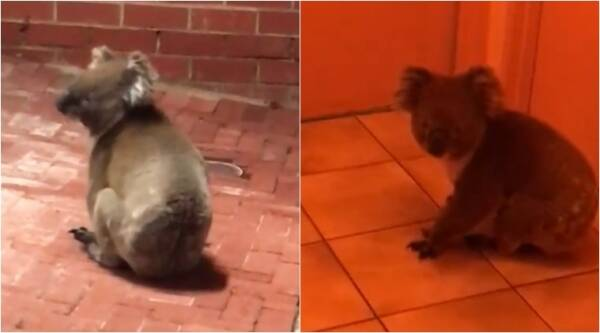 funny animal videos, koala videos, koala strolls into restaurant, viral animal videos, indian express, indian express news