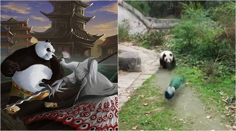 Watch This Real Life Kung Fu Panda Fight Between A Panda And Peacock Will Keep You Rofl Ing Trending News The Indian Express