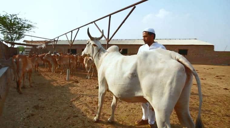 Gaurakhshaks, cow slaughter, cow, cow in India, meo muslims, cattle rearing, cattle slaughter, cattle in India. cattle laws in india, cow vigilante groups, Pehlu Khan, cow worship in Hindus, Mewat, Mewat Muslims, Pehlu Khan, cow as national animal of India, cow as national animal, India news, Indian Express