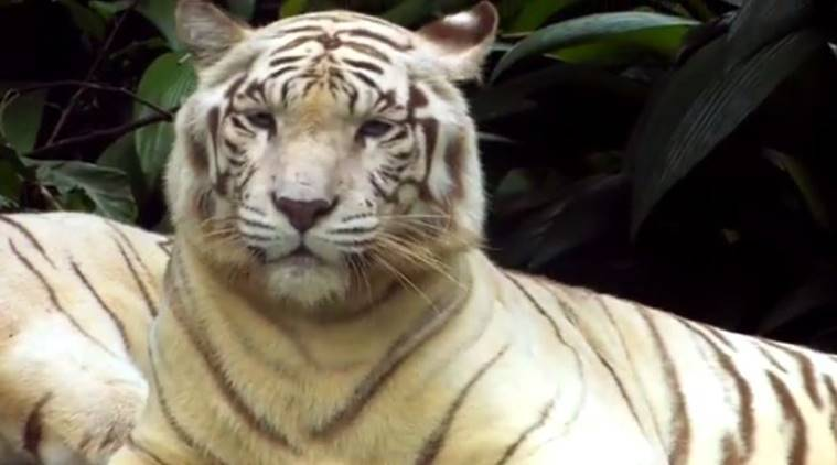 white tiger, omar, Singapore, Singapore white tiger, omar Singapore, Singapore Zoo, white tiger death, world news