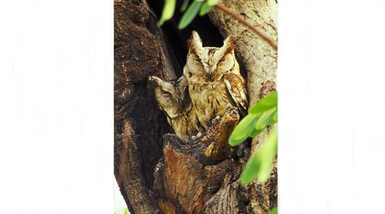 owl, wildlife, nature, forest, jungle, wild animals stories, owls at night, life of an owl, indian express, indian express news