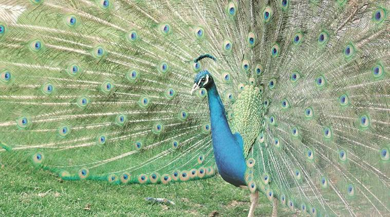 peacock, peacock sex, rajasthan judge, Mahesh Chandra Sharma, rajasthan HC judge, rajasthan judge peacock, judge peacock, cow national animal, national animal of india, india news
