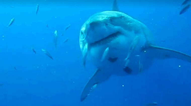 sharks, biggest shark, biggest shark video, 50 year old shark, shark viral videos, ferocious sharks, indian express, indian express news