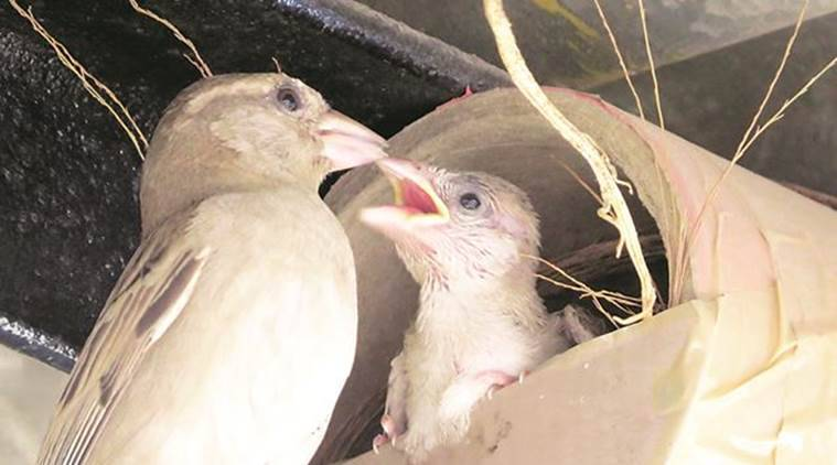 House Sparrows, Pune House Sparrows, Pune News, Indian Express, Indian Express News