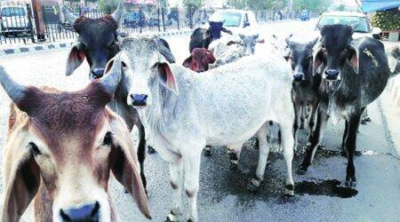 kunwar pushpesh singh chandel, bjp lawmaker, bundelkhand bjp lawmaker, bundelkhand bjp mp, stray cattle, issue of stray cattle, india news, Indian Express