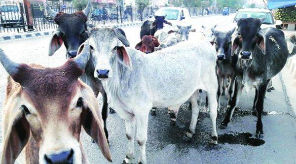 maharashtrawadi gomantak party, mgp cow slaughter, cow slaughter, sudin dhavalikar, goa cow slaughter, goa news, india news, latest news, indian express