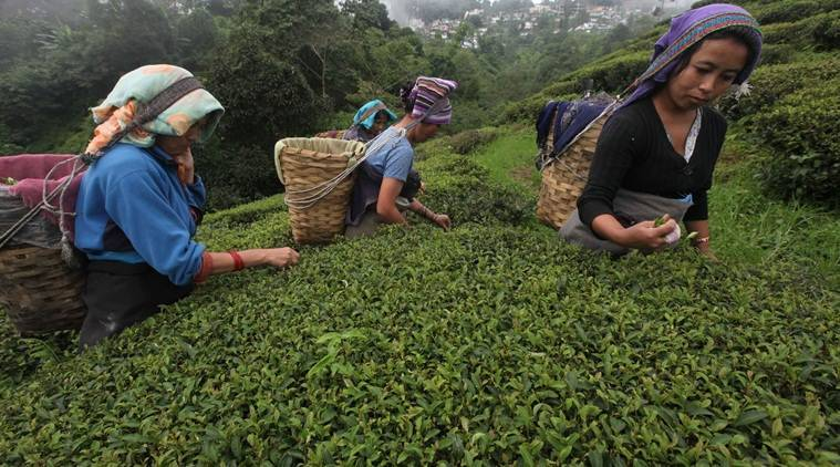 darjeeling unrest, darjeeling violence, darjeeling tea industry, darjeeling tea, darjeeling estate, tea industry loss, darjeeling tea industry loss