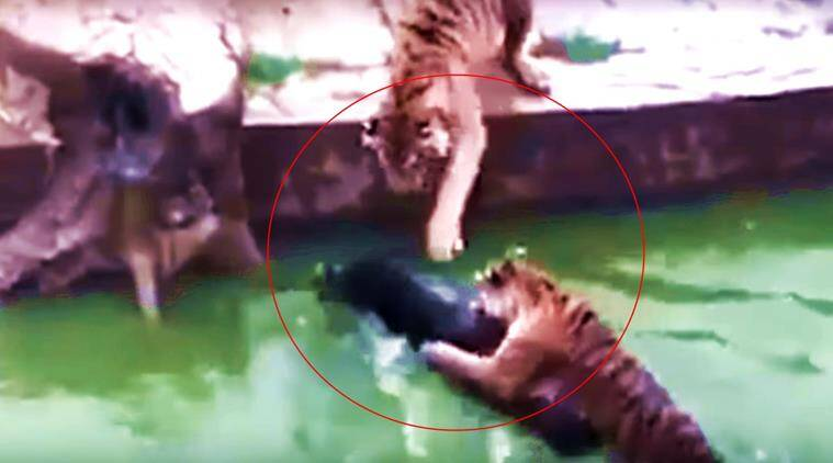 donkey four tigers, donkey tiger zoo, zoo official threw donkey in water, chinese zoo donkey 4 tigers, indian express, indian express news