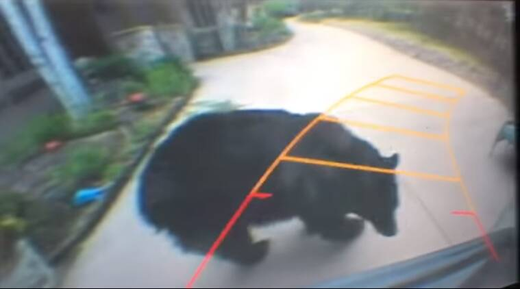 funny animal videos, bear in a garage, funny bear videos, bear obstructs path of a woman in Colorado, indian express, indian express news
