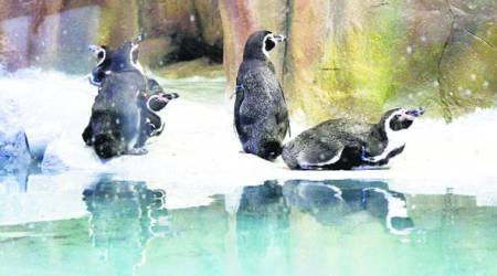 Mumbai: BJP leader seeks SIT probe into purchase of penguins by BMC for Byculla Zoo