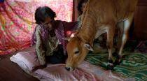 Convinced it is her reincarnated husband, Cambodian woman marries calf!