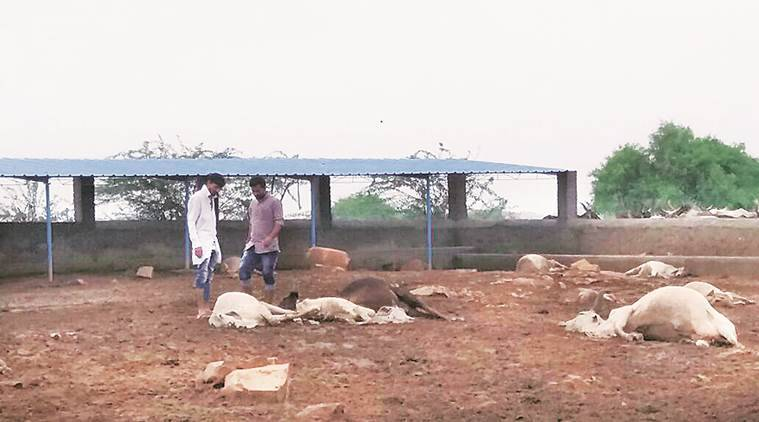 Kutch cow death, cattle death, cattle fodder, Gujarat news, Gujarat cow, indian express, india news, latest news