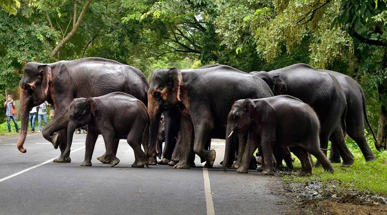 elephant, Elephant population, elephant population in india, environment, wildlife, wildlife trust of india,