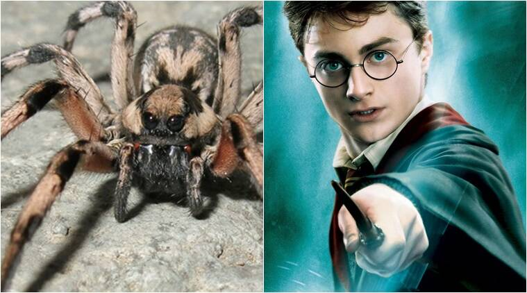 harry potter, harry potter spider, harry potter new spider, aragog, jk rowling, indian express, indian express news