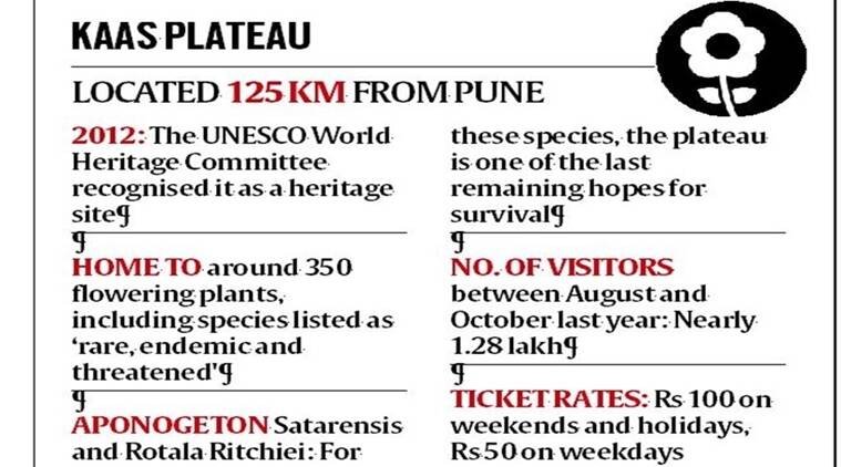 kaas plateau, unesco world heritage site, terre policy centre, kaas plateau ticket price, wild flower field, western ghats, things to see near pune, tourist spots maharashtra, indian express