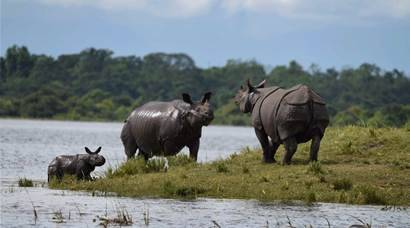 Here is Kaziranga Rhinos are escaping the Assam floods