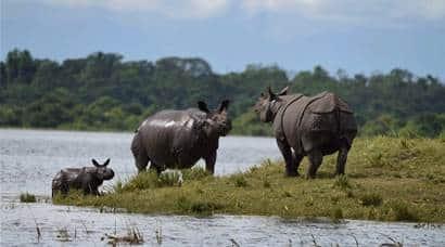 Here is Kaziranga Rhinos are escaping the Assam floods