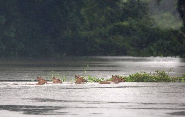 Kaziranga National Park, Rhinos, Rhinos flood, Kaziranga Rhinos, assam floods, assam monsoon, assam flood deaths, guwahati floods, assam news