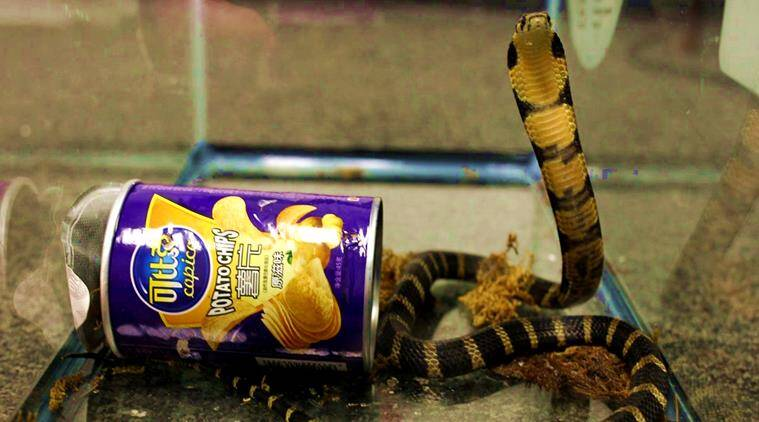 king cobra in potato chip cans, king cobra caught, king cobra scam, king cobra racket, cobra caught smuggling, king cobra smuggled, indian express, indian express news