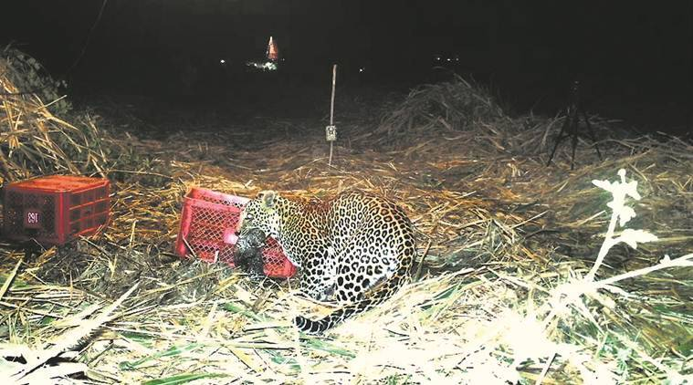 leopard attack, man-leopard conflict, leopard attack documentary, leopard attack film,