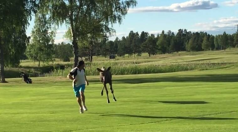 funny animal videos, man chased by a moose, moose chases golfer in sweden, bizarre animal videos, indian express, indian express news