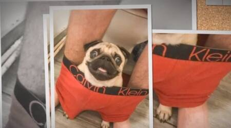What's privacy? This pug insists on sitting in his owner's BOXERS in the LOO