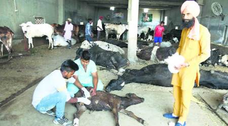 At 'cow hospital' in Punjab, signs of sword and acid attacks on bovines