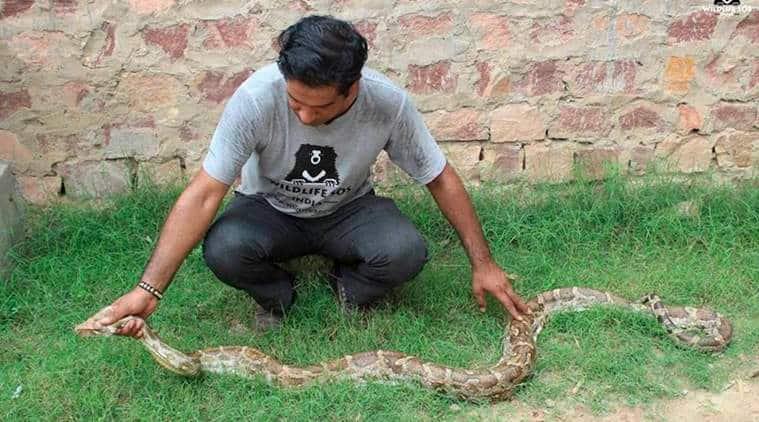 python, 8 foot long python, snake found agra, indian rock python, indian express