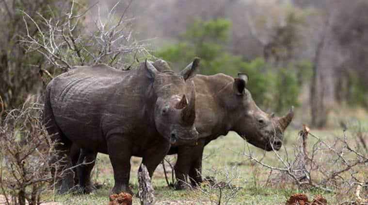 South Africa, South Africa Rhino Poaching, Rhino Poaching In South Africa, Rhino Poaching, South Africa, World News, Latest World News, Indian Express, Indian Express News