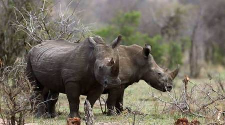 South Africa, South Africa Rhino Poaching, Rhino Poaching In South Africa, Rhino Poaching, South Africa, World News, Latest World News, Indian Express, Indian Express News