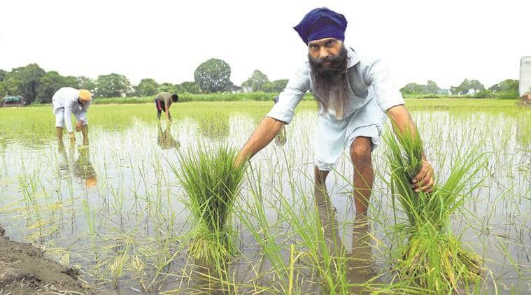 Basmati, all india rice exporters association, AIREA, Basmati pesticide, Pusa basmati varieties, rice plantation, rice varieties, indian express news, india news