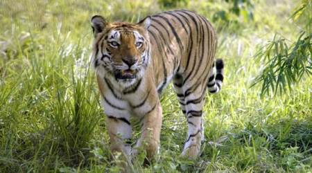 Six held with tiger skin, bones in Assam's Manas National Park