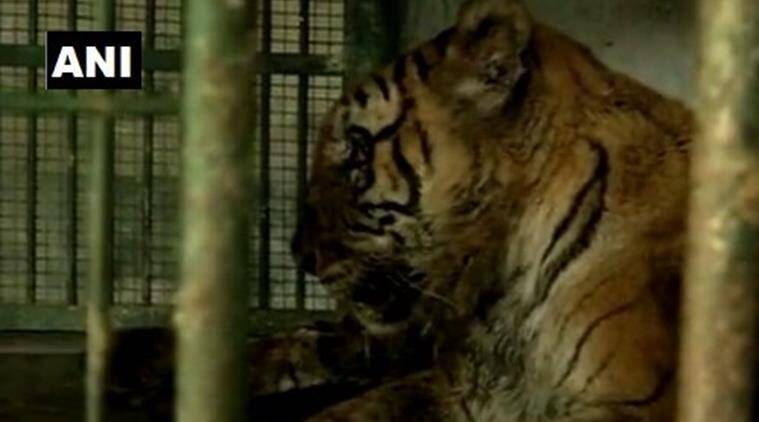 assam, oldest tiger, Assam State Zoo, guwahati zoo, india oldest tiger, india news