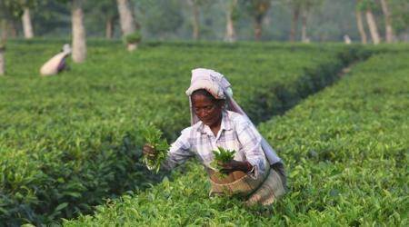 Tea leaves, Tea, National survey on tea, popular drinks in India, Assam state drink, Indian Express