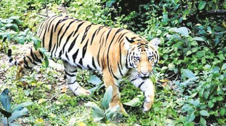 Uttarakhand records jump in tiger numbers