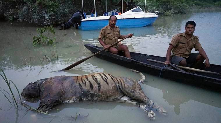 Tiger drowned in Assam floods