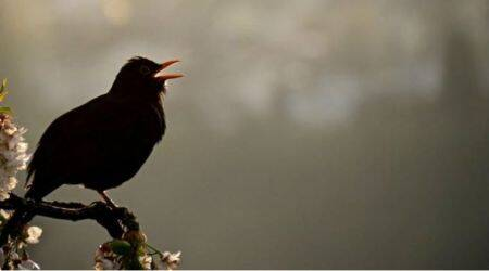 Now, simple device to mimic complex birdsongs