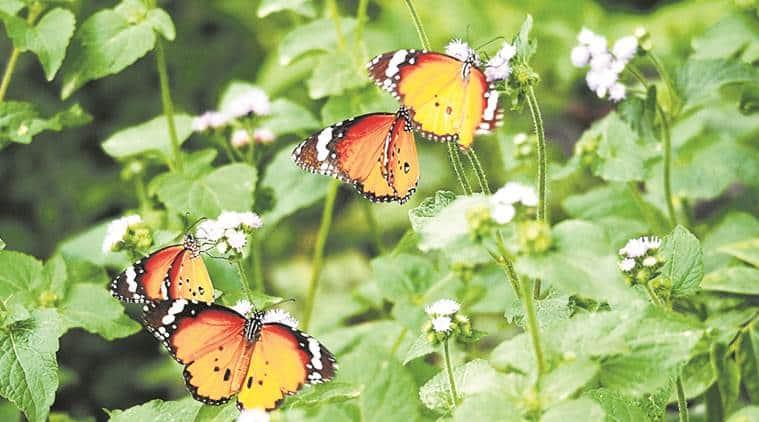 butterfly, delhi butterfly, butterflies, butterfly population, indian express news
