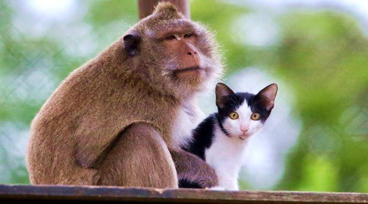 cat macaque, cat macaque friendship, rare friendship animals, wild life, wild life friendship, rare animal bonds, Wildlife Friends Foundation Thailand, indian express, indian express news
