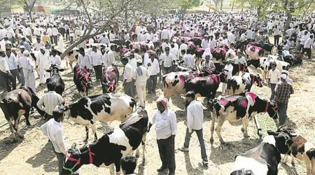Livestock trade, cattle trade, amreli gaurakshak, amreli Livestock trade, cattle slaughter ban, maharashtra cattle slaughter ban, cow selling, cow trade, indian express news, india news