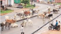 Gujarat: 'Gau rakshaks' stab truck conductor for 'illegally' ferrying buffaloes; 2 FIRs lodged